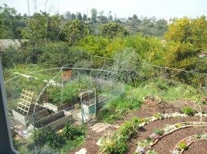 veggie garden on St Patrick's Day 2013